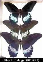 Papilio Mayo males.JPG