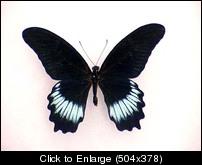 Papilio mayo.JPG