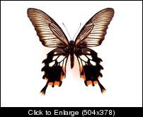 Papilio mayoF.JPG